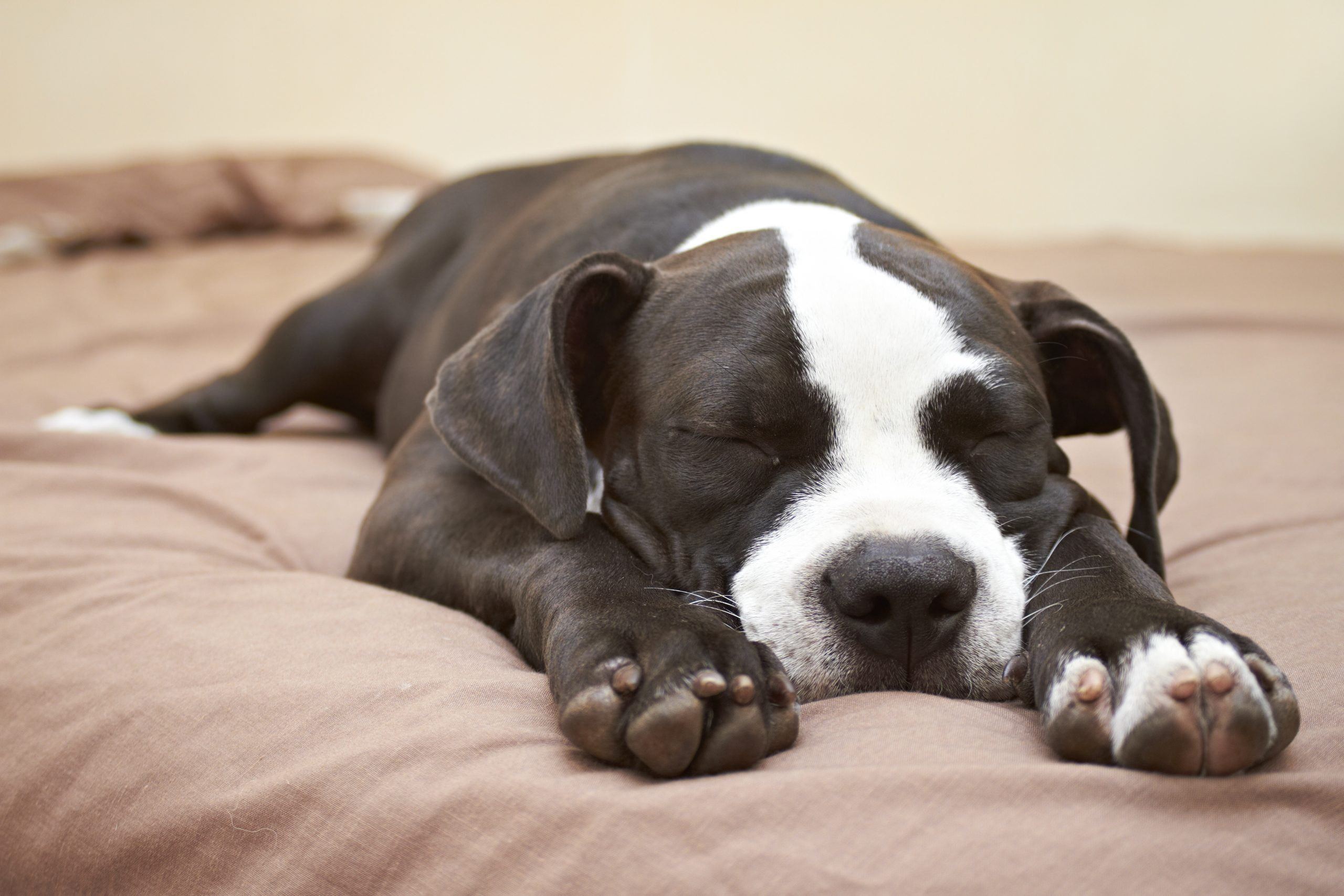 The Drawbacks of Dogs in the Bed